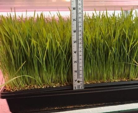 Wheat-Grass-Muture-min