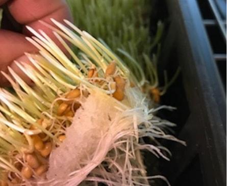 Wheat-Grass-roots-min